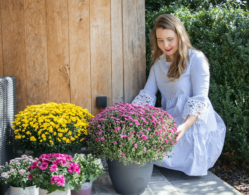 Kleur in elk hoekje van de tuin – chrysanten van Belgian Mums