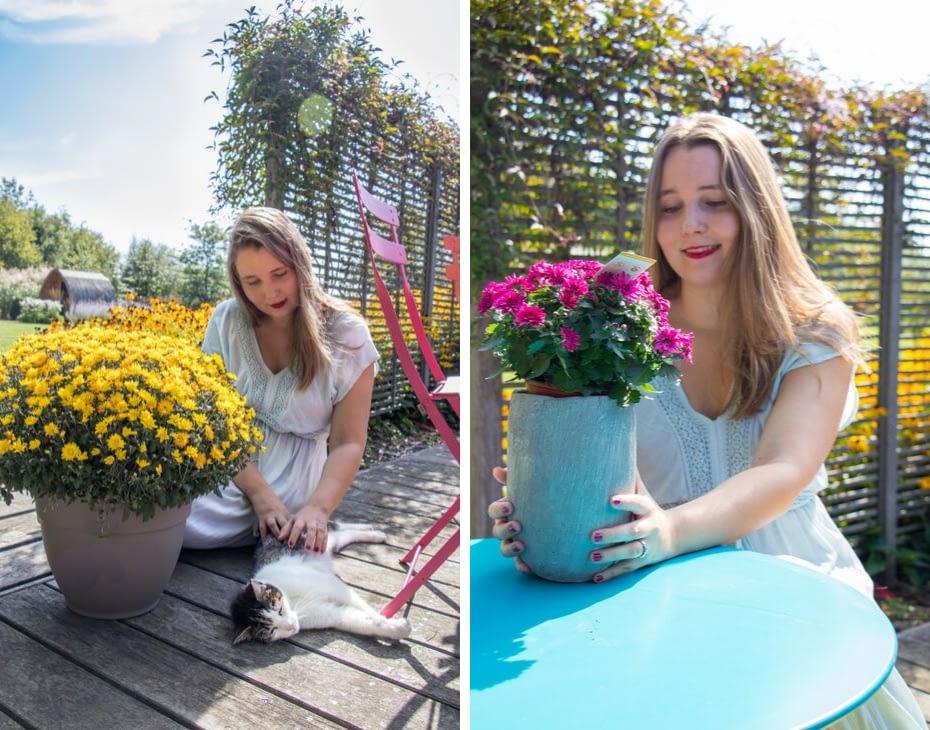 Chrysanten Belgian Mums Gediflora (2)